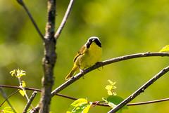 7K8A4978 (rpealit) Tags: scenery wildlife nature weldon brook management area common yellowthroat bird