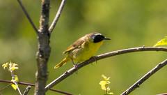 7K8A4985 (rpealit) Tags: scenery wildlife nature weldon brook management area common yellowthroat bird