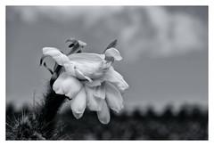 purple rose of ..... (RadarO´Reilly) Tags: guatiza lanzarote kanaren canaryislands blume flower blüte bloom sw bw schwarzweis blackwhite blanconegro monochrome noiretblanc zwartwit
