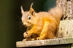 Red Squirrel (georgehart64) Tags: carniewoods scotland canoneosr canon redsquirrel