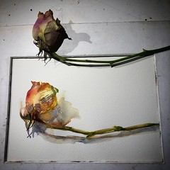 Day 1476. The #rose #painting for today. #watercolour #watercolourakolamble #sketching #stilllife #flower #art #fabrianoartistico #hotpress #paper #dailyproject (akolamble) Tags: rose painting watercolour watercolourakolamble sketching stilllife flower art fabrianoartistico hotpress paper dailyproject