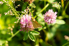 7K8A4884 (rpealit) Tags: scenery wildlife nature weldon brook management area skipper butterfly northern brokendash