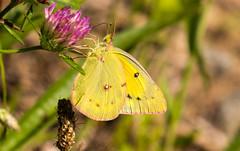 7K8A4899 (rpealit) Tags: scenery wildlife nature weldon brook management area orange sulphur butterfly