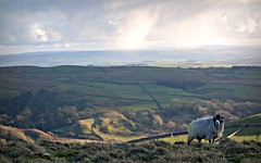 (plot19) Tags: drifters yorkshire dales hills landscape love light sheep green grass sony rx100 plot19 photography nikon north northern england britain