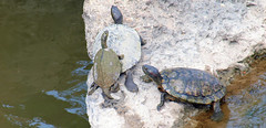 3 Got Room For One More? (Kaptured by Kala) Tags: whiterocklake dallastexas turtle aquaticturtle waterturtle reptile slider trachemysscriptaelegans redearedslider creekbetweenlowerspillwaystepsandlowerspillway basking herps rock belowme maleturtles graptemyspseudogeographicakohni mississippimapturtle malemississippimapturtle maleturtle herp aquatic mapturtle concreterock maleredearedslider
