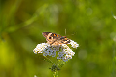 7K8A4938 (rpealit) Tags: scenery wildlife nature weldon brook management area common buckeye butterfly