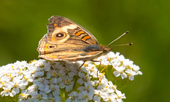 7K8A4942 (rpealit) Tags: scenery wildlife nature weldon brook management area common buckeye butterfly