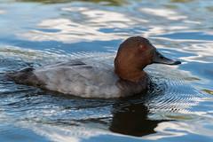 Common pochard (SteveMcD) Tags: london england unitedkingdom regentpark commonpochard duck waterfowl