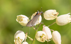 7K8A4947 (rpealit) Tags: scenery wildlife nature weldon brook management area gray hairstreak mating butterfly