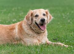 Trinity (Rainfire Photography) Tags: dog golden retriever field rainfire pet photography animal nikon d850