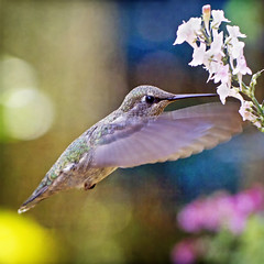 furious flutter (1crzqbn) Tags: macro hummingbird bokeh colors nature inmygarden coth coth5 1crzqbn sunrays5