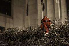 Loner version 2 (gergely.t.springer) Tags: loner alone dark aloneinthedark budaörs hungary budapest nikon d3500 f18 fireplug vivid red vividred bw colors playwithcolors