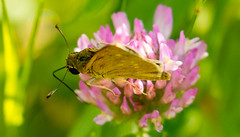 7K8A4883 (rpealit) Tags: scenery wildlife nature weldon brook management area skipper butterfly northern brokendash