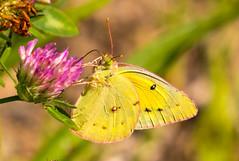 7K8A4902 (rpealit) Tags: scenery wildlife nature weldon brook management area orange sulphur butterfly
