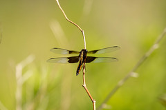 7K8A4931 (rpealit) Tags: scenery wildlife nature weldon brook management area immature male widow skimmer dragonfly