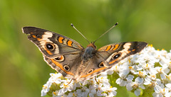 7K8A4944 (rpealit) Tags: scenery wildlife nature weldon brook management area common buckeye butterfly
