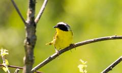 7K8A4987 (rpealit) Tags: scenery wildlife nature weldon brook management area common yellowthroat bird