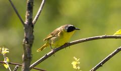 7K8A4984 (rpealit) Tags: scenery wildlife nature weldon brook management area common yellowthroat bird