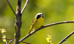 7K8A4980 (rpealit) Tags: scenery wildlife nature weldon brook management area common yellowthroat bird