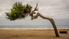 Leaning Tree (Jose Matutina) Tags: california losangeles sanpedro cabrillo leaning tree sand beach landscape