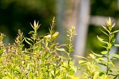 7K8A5005 (rpealit) Tags: scenery wildlife nature weldon brook management area female common yellowthroat bird