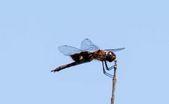 7K8A4963 (rpealit) Tags: scenery wildlife nature weldon brook management area black saddlebag dragonfly