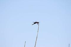 7K8A4965 (rpealit) Tags: scenery wildlife nature weldon brook management area black saddlebag dragonfly