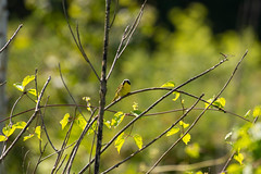 7K8A4979 (rpealit) Tags: scenery wildlife nature weldon brook management area common yellowthroat bird