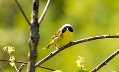 7K8A4986 (rpealit) Tags: scenery wildlife nature weldon brook management area common yellowthroat bird