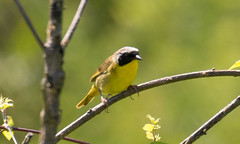 7K8A4982 (rpealit) Tags: scenery wildlife nature weldon brook management area common yellowthroat bird