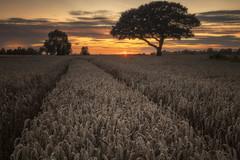 Thulston Sunset (alexcalver) Tags: sigma1750 formatthitech 80d canon summertime tracks lonetree wheatfield sunstar sunset derbyshire thulston