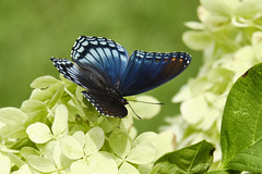 Resting On Hydrangea - Red-spotted Purple (Limenitis arthemis astyanax) (Modkuse) Tags: redspottedpurple insect creature butterfly nature natural art artphotography artistic artisticphotography photoart astia astiasimulation fujifilmastiasimulation fujifilmxt2astiasimulation xt2fujinonxt2astiaastia fujifilm fujifilmxt2 fujinon xt2 fujinonxf55200mmf3548rlmois xf55200mmf3548rlmois colorful