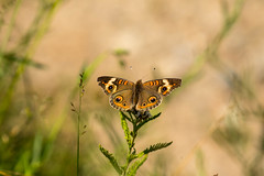 7K8A4995 (rpealit) Tags: scenery wildlife nature weldon brook management area common buckeye butterfly