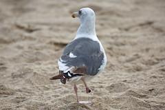 Western Gull,right foot missing, Ballona Jetty, CA CQ4A0386 (Hart Walter) Tags: ballonajetty surfbird willet marbledgodwit leastsandpiper heermannsgull caspiantern royaltern blackturnstone westerngull