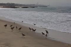 Shorebirds, Playa del Rey Beach, CA CQ4A0437 (Hart Walter) Tags: ballonajetty surfbird willet marbledgodwit leastsandpiper heermannsgull caspiantern royaltern blackturnstone westerngull