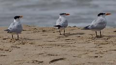 Royal Terns, Ballona Jetty, CA CQ4A0393 (Hart Walter) Tags: ballonajetty surfbird willet marbledgodwit leastsandpiper heermannsgull caspiantern royaltern blackturnstone westerngull