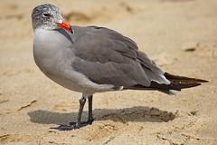 Heermann's Gull, Ballona Jetty, CA CQ4A0403 (Hart Walter) Tags: ballonajetty surfbird willet marbledgodwit leastsandpiper heermannsgull caspiantern royaltern blackturnstone westerngull