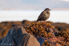 Starling (vgoncalves76) Tags: starling bird