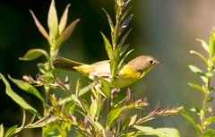 7K8A5007 (rpealit) Tags: scenery wildlife nature weldon brook management area female common yellowthroat bird