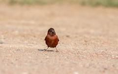 Chestnut sparrow - Passer eminibey - Kastanjemus (cradenborg) Tags: c cceradenborg 2019 5 chestnutsparrow kastanjemus kenia kenya nature openbaar passereminibey passeridae passeriformes public rufoussparrow safari wildlife zangvogels