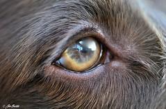 Sheldon's Eye (Jen Buckle) Tags: nikon nikond7500 jenbuckle jenbucklephotographsanything jenbucklephotographienimportequoi wwwflickrcompeoplejenbuckle eye spaniel sprocker sprockers sprockerspaniel sheldon fieldspaniel dog dogsofflickr dogs dogsofuk pet