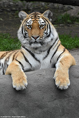 Siberian tiger - Tierpark hagenbeck (Mandenno photography) Tags: animal animals dierenpark dierentuin dieren duitsland zoo tiger tigers tijgers tierpark hagenbeck tierparkhagenbeck bigcat big cat cats germany ngc nature natgeo natgeographic discovery