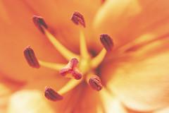 eye of the tiger (rockinmonique) Tags: flower bloom blossom petal stamen pistil filltheframe tigerlily orange moniquewphotography canon canont6s tamron tamron90mm copyright2019moniquewphotography