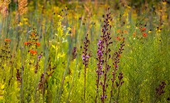 Prairie Flower Garden (mahar15) Tags: garden wildflower summer blooms prairieplants flowers gardenflowers nature august outdoors minnesotanativewildflower nativewildflower landscape prairiegarden
