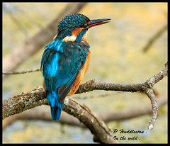 kingfisher / Female . (Diddley Bo) Tags: brandon wr gbriton fisheater lakes rivers
