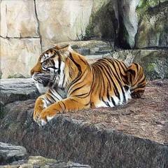Sleeping Tiger (scilit) Tags: tiger animal wildlife nature bigcat predator sleepingtiger rocks ledge coth coth5 specanimal alittlebeauty ngc npc square 500x500 textures twigs grass hay