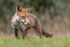 Red Fox (Glenn.B) Tags: nature animal mammal wildlife buckinghamshire fox grassland redfox vulpesvulpes britishfox eosr canoneosr