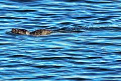 20190822 Oak Bay Harbour Seal