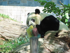 2019_08-22zza (gkoo19681) Tags: beibei chubbycubby fuzzywuzzy 4thbirthday icecake apples nanner yummycarrot sugarcane sohappy spoiled presents treatball treatring donut amazing toocute beingadorable meltinghearts specialdelivery sillygoober lyingdown justbecausehecan allmine hisway brighteyed soyummy tubsitting toofunny ccncby nationalzoo
