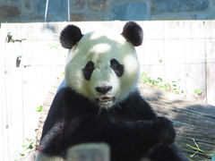 2019_08-22zv (gkoo19681) Tags: beibei chubbycubby fuzzywuzzy 4thbirthday icecake apples nanner yummycarrot sugarcane sohappy spoiled presents treatball treatring donut amazing toocute beingadorable meltinghearts specialdelivery sillygoober lyingdown justbecausehecan allmine hisway brighteyed soyummy tubsitting toofunny ccncby nationalzoo